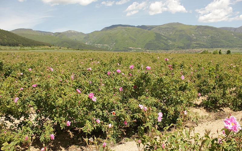 Розовата долина край Казанлък