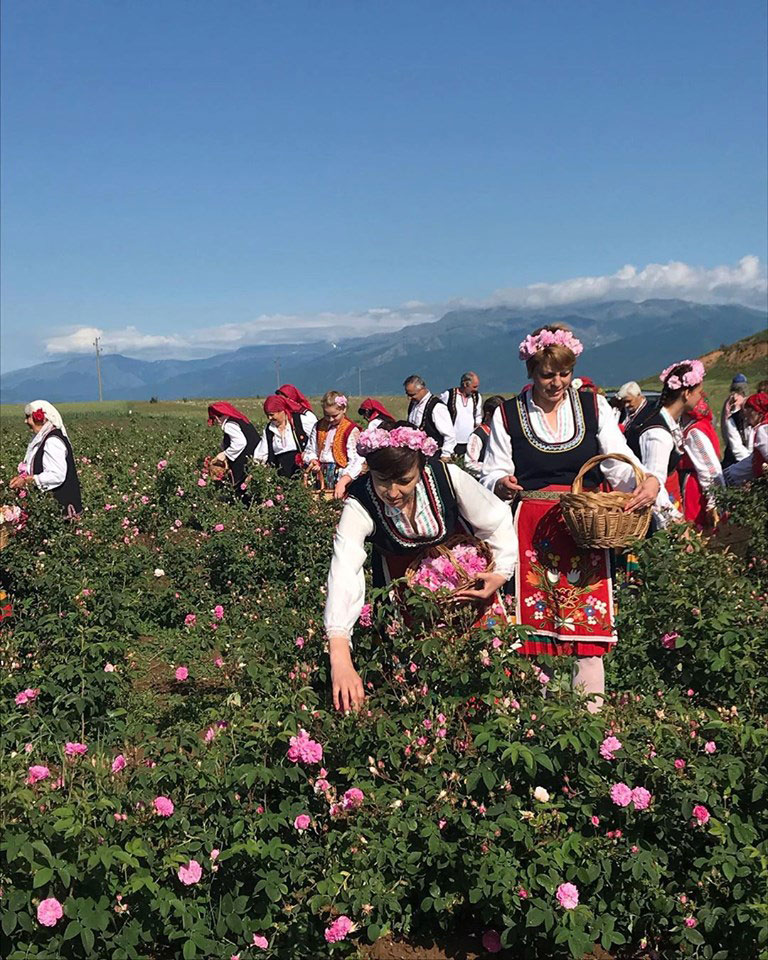 Rose harvest in Bulgaria